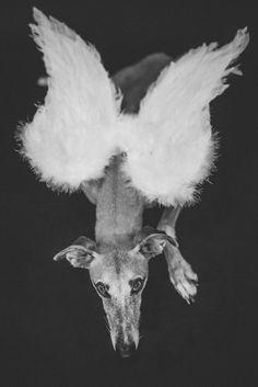 glamour greyhound portrait signed print glamour portraits et chien levrier. Black Bedroom Furniture Sets. Home Design Ideas