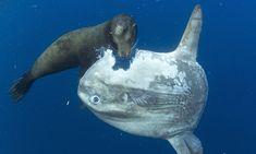 Seal eating Mola mola (pez luna)