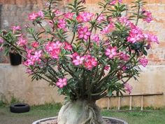 Como plantar e replantar rosa do deserto / Adenium Obesum. How to plant Adenium obesum. - YouTube
