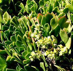 Aeonium 'Jolly Green'atSan Marcos Growers