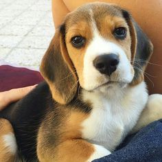 I get a feeling i really may not be able to say no, if i am given a chance to adopt a beagle :)