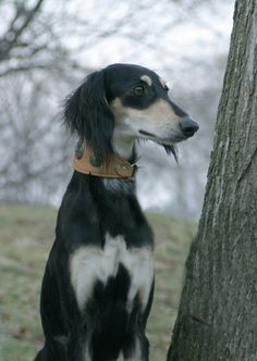 Saluki ... friggin the most beautiful dog I've ever seen.
