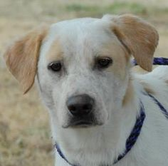 Red Cattle Dog Mix • Young • Male • Medium Canyon Lake Animal Shelter Society Canyon Lake, TX He's so gorgeous !!!