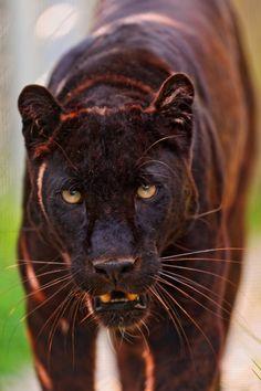 Male black panther walking II by Tambako The Jaguar on Flickr