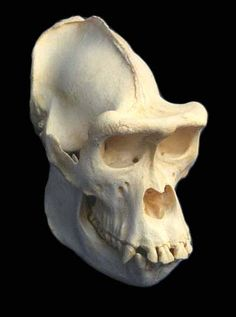 Gorilla (Gorilla gorilla). The gorilla, the largest of the living primates, is a ground-dwelling omnivore that inhabits the forests of Africa. Female Skull