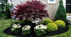 evergreen shrub for corner of house – Bing Images