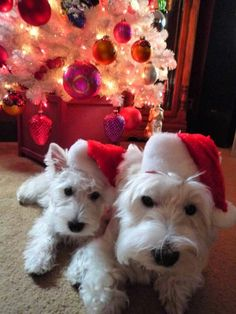 I want a Christmas Westie so bad.:( I WILL have a Westie. I need one like my Laddie. Christmas Animals, Christmas Dog, White Christmas, Merry Christmas, Westies, Cute Puppies, Dogs And Puppies, Westie Puppies, Pet Dogs