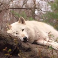 🐺Lazy wolf doing an awoo. - little beasts - bilder 🐺Lazy wolf doing an awoo. - little beasts - Dogs Wolf Photos, Wolf Pictures, Funny Pictures, Nature Photos, Beautiful Wolves, Animals Beautiful, Funny Cats And Dogs, Cute Dogs, Tier Wolf