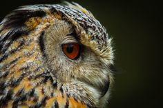 Bubo the owl http://fc-foto.de/37899847