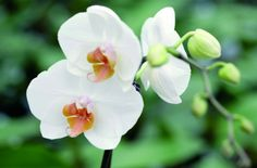 A Phalaenopsis kitűnő dísznövény, jól érzi magát központi fűtéses lakásban is, ha megfelelően gondozzuk. Rose, Flowers, Plants, Pregnancy, Pink, Pregnancy Planning Resources, Plant, Roses, Royal Icing Flowers
