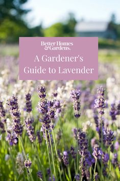 It's easy to fall in love with lavender -- the plant features attractive foliage, beautiful flowers, and a great scent. Plus, it's resistant to drought, deer, and hungry bunnies. The key to success is knowing which type is right for your yard. Here are some of our favorites.