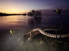 An eastern diamondback rattlesnake perches on mangrove roots in Florida's Everglades