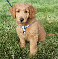 Reilly the Goldendoodle
