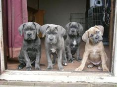 Cane Corso Puppies & they have blue eye's to. here they r as puppies Cane Corso Italiano, Cane Corso Dog, Cane Corso Puppies, Mastiff Puppies, Love My Dog, Big Dogs, Cute Dogs, Dogs And Puppies, Baby Animals