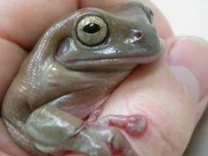 Frog - Tree - Australian White's
