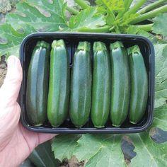Baby Boom Hybrid Zucchini Squash