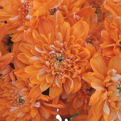 FiftyFlowers.com - Orange Cushion Bulk Flower