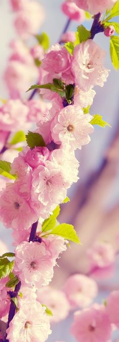 Cherry blossom tree photography > beautiful nature. An up-close shot of the beautiful pink blooms on a branch.