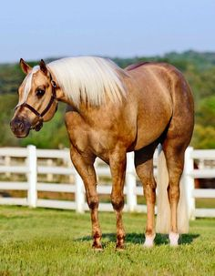 AQHA quarter horse stallion, Hes Berry Blazin. Western pleasure.