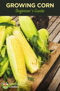 Hydroponics Gardening Beginners Guide to Growing Corn - Unlike what people assume, planting and growing corn is actually quite easy. Read this guide to learn how to grow corn successfully. Magic Garden, Diy Garden, Shade Garden, Vegetable Garden For Beginners, Gardening For Beginners, Organic Vegetables, Growing Vegetables, Growing Plants, Regrow Vegetables