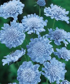 1000 images about blue blooms on pinterest blue flowers for Low maintenance partial sun plants