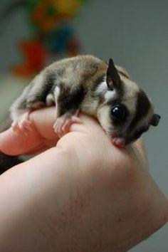 Baby Sugar Glider, so cute!