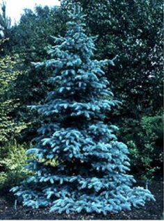 The bluest of the Blue Spruce trees.  Picea pungens glauca 'Hoopsii'- Hoops Blue Spruce