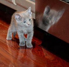 Google Image Result for http://thegenusgenius.com/wp-content/uploads/2010/08/russian-blue-kittens-41.jpg