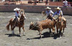 5-Terna en el ruedo, donde tres charros a caballo tendrán que lazar y derribar al toro que ha sido jineteado, lazándolo primero de la cabeza y luego de las patas