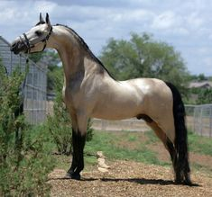 Pantheon is not a buttermilk buckskin stallion like some pins say, but he's actually a grulla. This is a very rare American Saddlebred color, and two of his three offspring have been grulla as well. Winsdown Black Gold x Hallmark's Sea Princess American Saddlebred, All The Pretty Horses, Beautiful Horses, Animals Beautiful, Majestic Horse, Majestic Animals, Rare Horses, Clydesdale, Horse Pictures