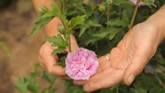 How to Care for a Rose of Sharon Hibiscus in a Pot