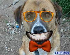 Fındık+kocaman+gülümseyen+bir+fotoğrafını+paylaştı!+Dişlerini+koruyan+Dentastix+ödülünü+kazanması+için+ona+oy+verir+misiniz?+#KöpeğiminDentastixGülüşü