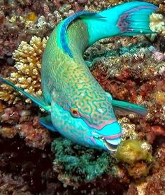 The beautiful Parrot Fish who nibble away at the coral and make our awesome coral sands