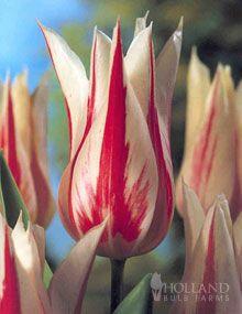 Marilyn Lily Flowering Tulip