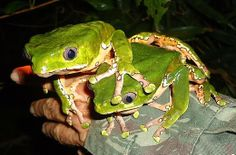 The giant leaf frog, Phyllomedusa bicolor, also known as Kambo, Kambô, Cambô, and Sapo Verde, is a hylid frog.