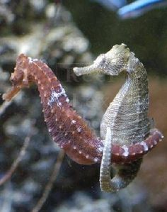 Male seahorses soon learn what unprotected sex means.  Remember which gender gives birth here.
