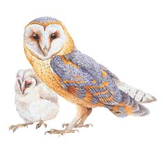 Barn Owl with Chick - Artwork by Ed Hazebroek.