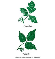Poison Ivy and Poison Oak Poison Ivy Oak Sumac, Poison Oak, Ivy Look, Pick Your Poison, Black Spot, Nature Pictures, Good To Know, Helpful Hints, Plant Leaves