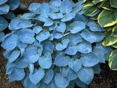 Hosta Hadspen Blue Shade