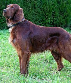 Irish Setter - beautiful, beautiful dog
