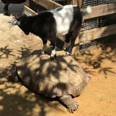 Just a little tortoise surfing at Wild Florida!  Goats. Tortoises. Good times. #MyKissimmee