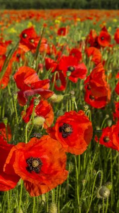 Download Wallpaper 720x1280 Poppies, Flowers, Field, Grass Samsung Galaxy S3 HD Background