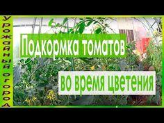 Даже опытные огородники не смогут определенно сказать, каким удобрением лучше всего подкармливать томаты. Рецептов подкормок и способов их применения довольно большое количество. Кто-то пользуется тол...