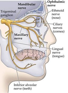 Dentaltown - The trigeminal nerve, a.k.a. the fifth cranial nerve, or simply CN V, is responsible for sensation in the face and motor functions such as biting and chewing.  It has 3 major branches:  1.V1 - ophthalmic nerve  2.V2 - maxillary nerve  3.V3 - mandibular nerve