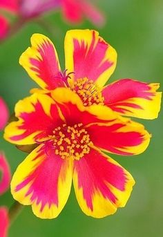 ~~Portulaca 'Summer Duet Rose' by chenkuntsan~~