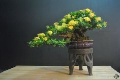 Flowering Bonsai are very popular and fruits on miniature trees fascinate almost everybody. But there are a number of things you must pay attention to if you want to make sure these Bonsai tree Indoor Bonsai, Bonsai Plants, Bonsai Garden, Planting Succulents, Planting Flowers, Bonsai Trees, Bonsai Flowers, Cacti Garden, Air Plants