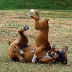 2. Boxers are highly energetic and needs regular exercise. A Boxer may need more than 2 hours of exercise daily.