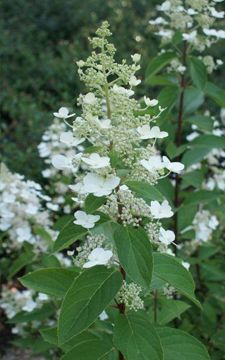 Image result for hydrangea paniculata