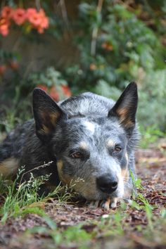 Ripley - Australian Cattle Dog - Blue Heeler