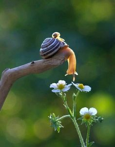 The snail looks like it's smelling the flower.  So cute!